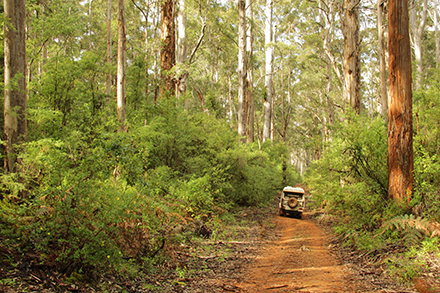 A 4WD dwarfed by the Karri Forest