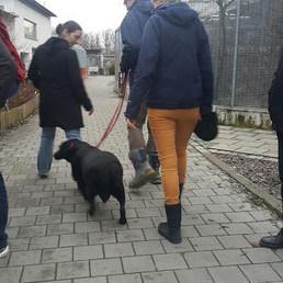 Gönüllüsüyle yürüme mesaisinde olan bir şişko... — Tierschutzverein München