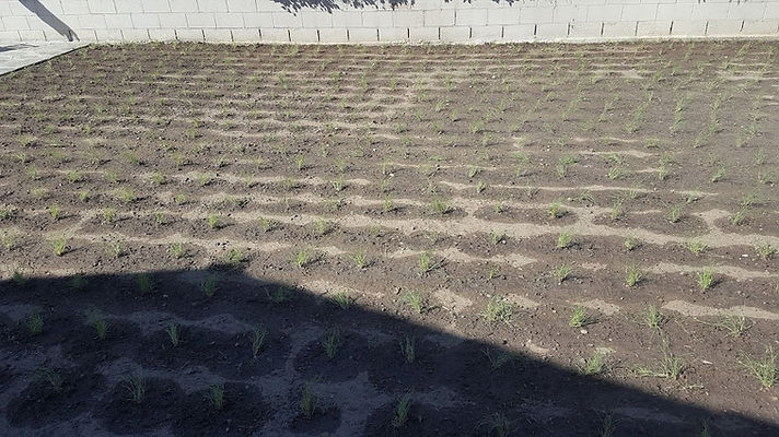 Drip with bufflo grass.jpg