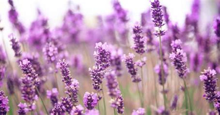 New! Lavender Days