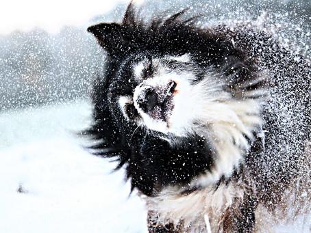 Que font réellement les chiens de secours en cas d'avalanche ?