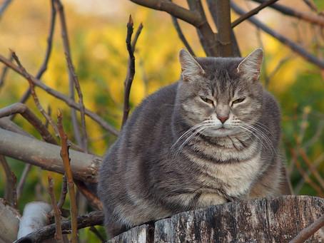 Les gros chats : tragiquement mignon ?