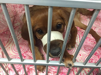 DeeDee the dog with a jaw fracture