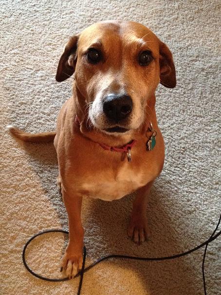 Syrah the rhodesian ridgeback dog