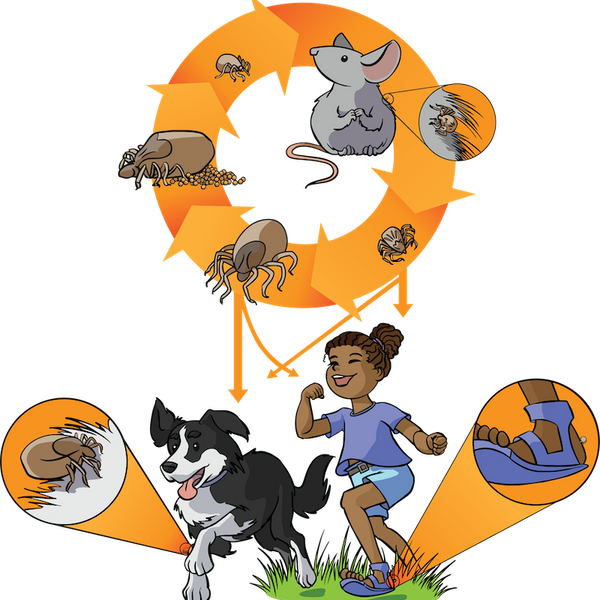 RMSF Transmission (Pubished in Infectious Diseases of the Dog and Cat - Weese/Evason)