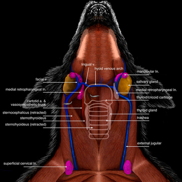 Lymph Nodes of the Neck (Canine) (Published in Today's Veterinary Practice)