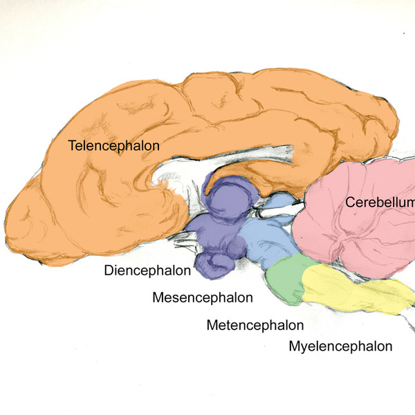 Dog Brain (Diagram for teaching lecture)