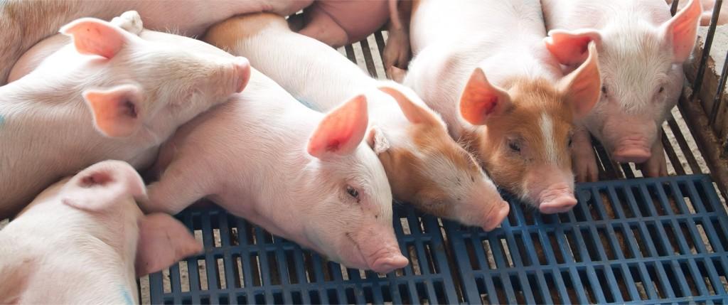 pigs-min-1024x429