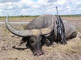 buffalo hunting australia. chaku peru