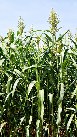 Sordan 79 Full Plant - 2.JPG