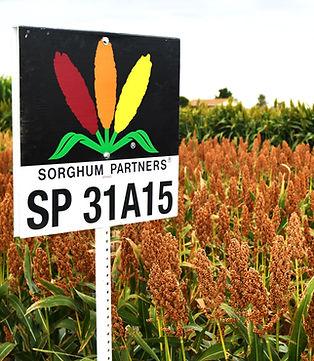 SP 31A15