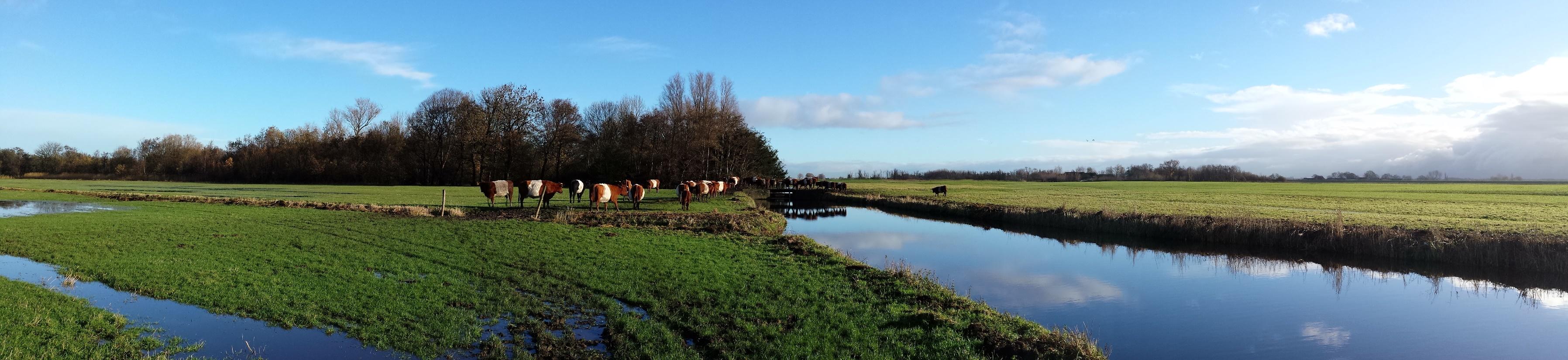 koeien binnen panorama