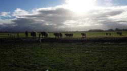 koeien halen
