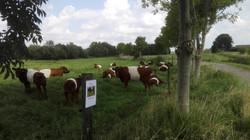 Lakenvelders met stier