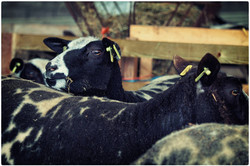 schapen 2015