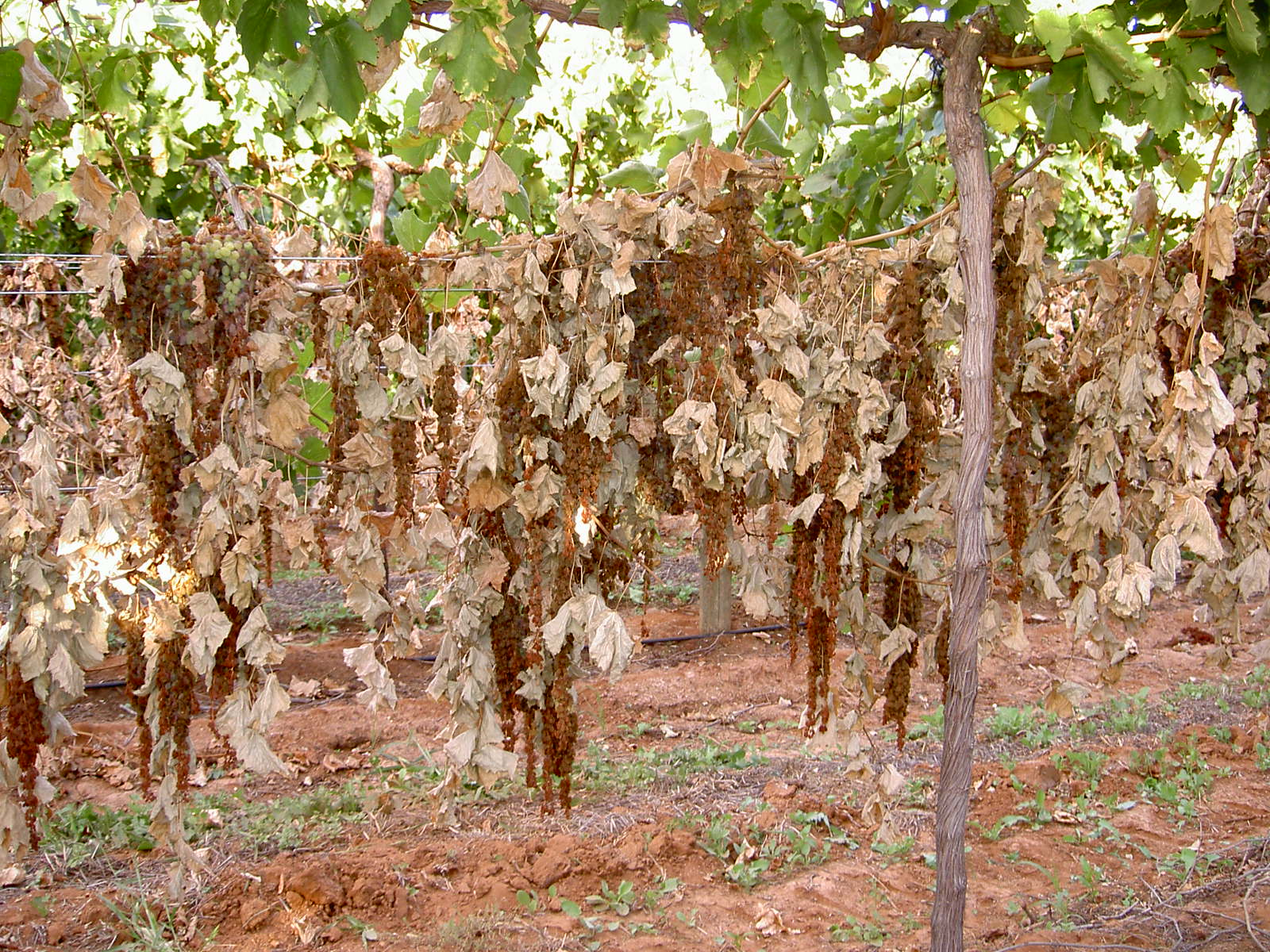 Drying on the vine