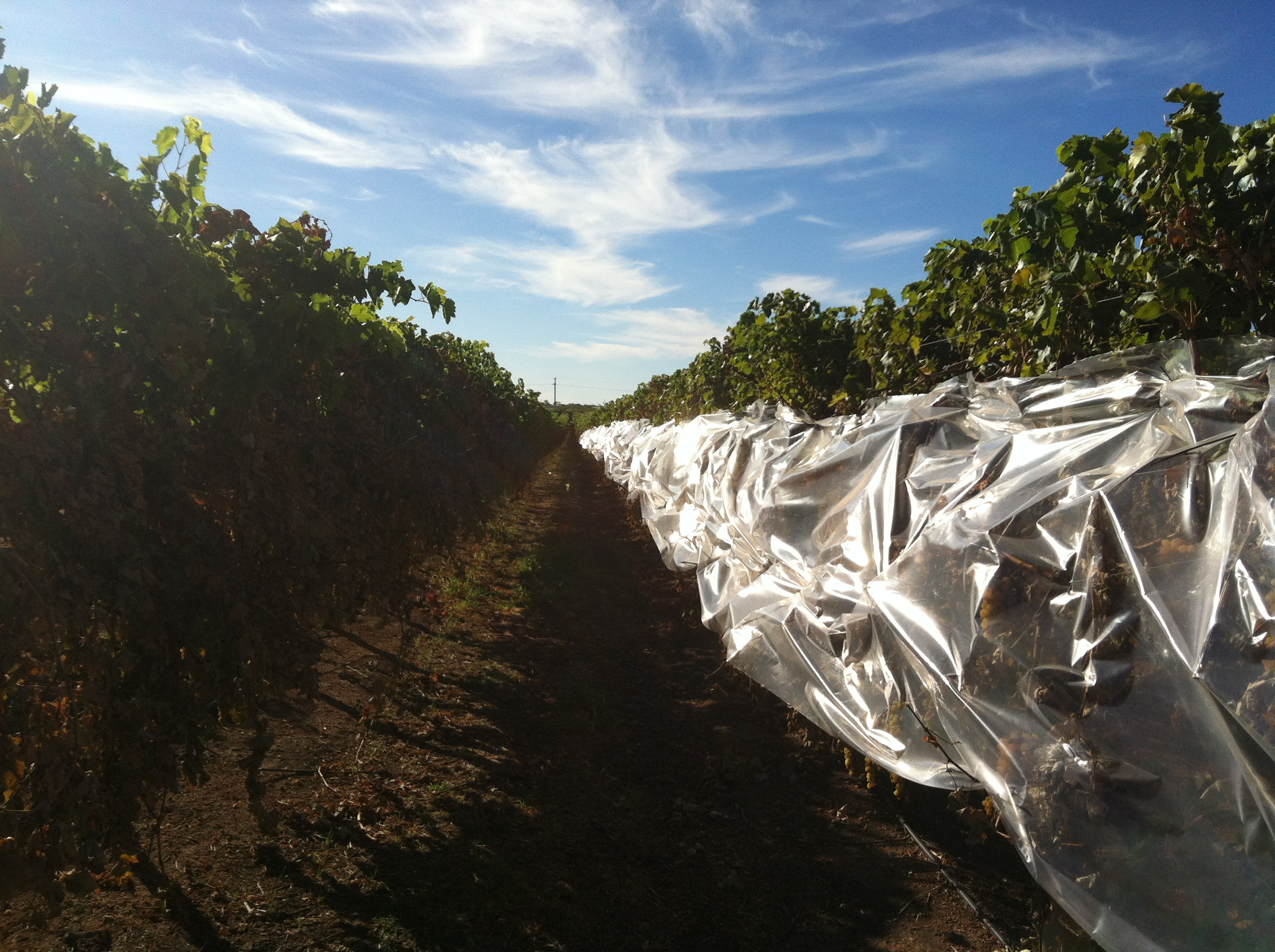 Vine cover trials (3)