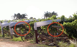 Table grape Trellis
