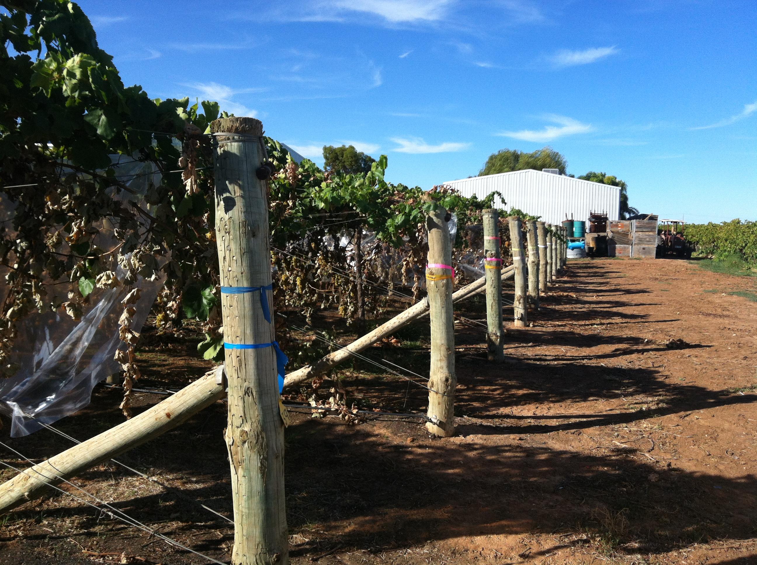 Vine cover trials (4)