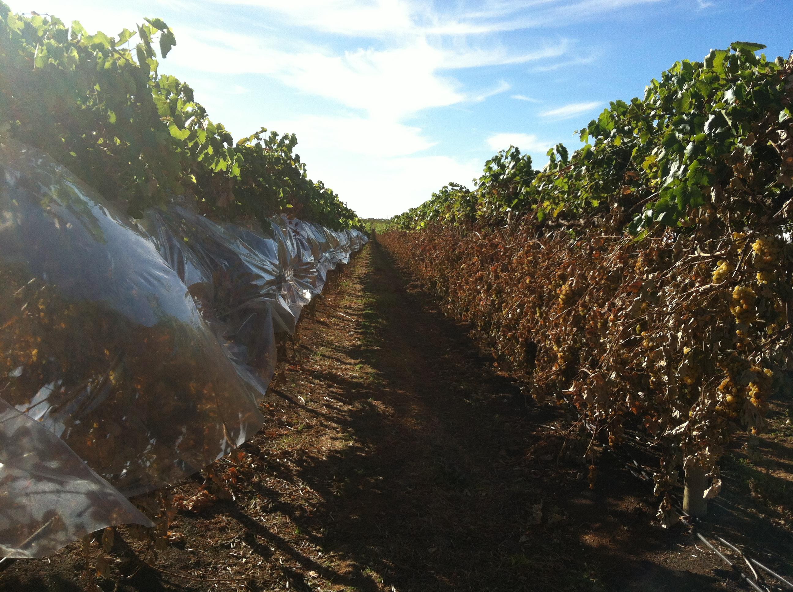 Vine cover trials (6)