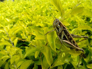 La production d'insectes, un débouché alternatif au compostage et à la méthanisation