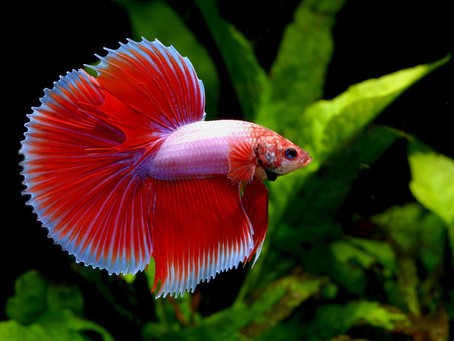 Keeping fighter fish
