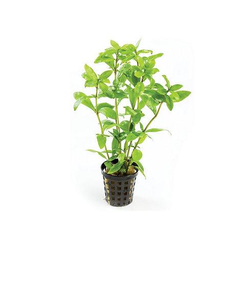 Hygrophilia Aquatic Plant (5cm Pot)