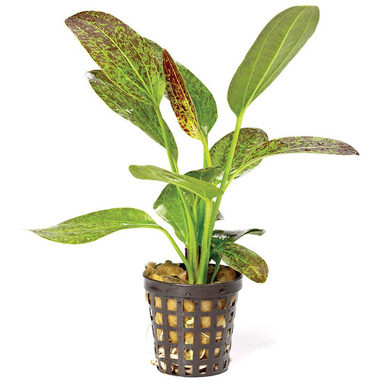 Assorted Swords Aquatic Plant (5cm Pot)