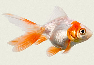 red-white-ryukin-fancy-goldfish.jpg