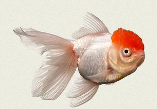 red-cap-fantail-fancy-goldfish.jpg