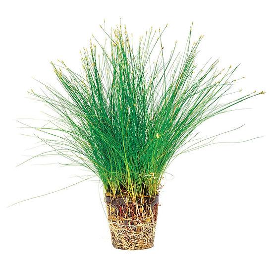 Hairgrass Aquatic Carpeting Plant (5cm Pot)