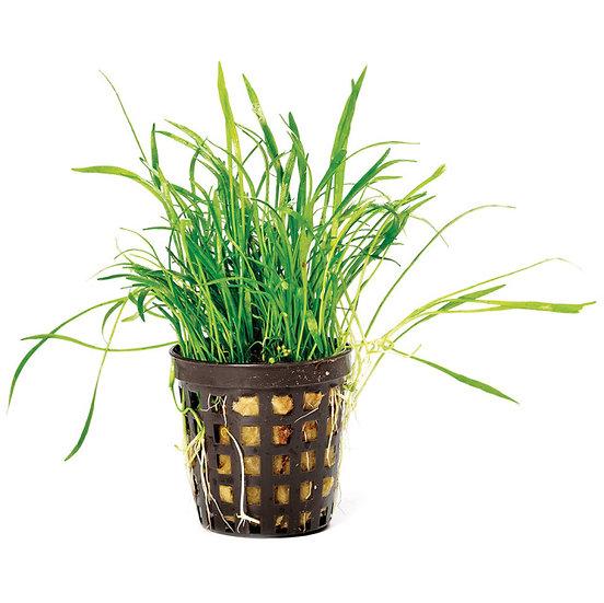 Lilaeopsis Grass Micro Sword Aquatic Carpeting Plant (5cm Pot)