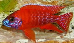 Peacock Red Rubin