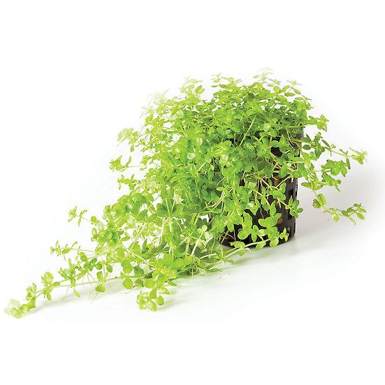 Monte Carlo Aquatic Carpeting Plant (Micranthemum Tweediei) (5cm Pot)