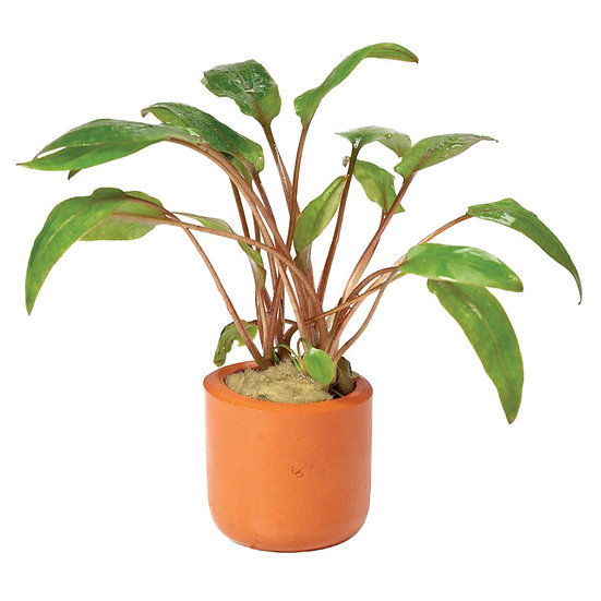 Assorted Cryptocoryne Aquatic Plant (Ceramic Pot)