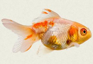 gold-white-oranda-fancy-goldfish.jpg