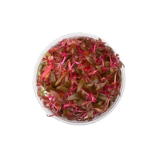 ALTERNANTHERA REINECKII - Tissue Culture Plant