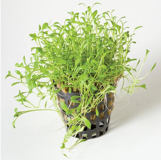 Glossostigma Aquatic Carpeting Plant (5cm Pot)