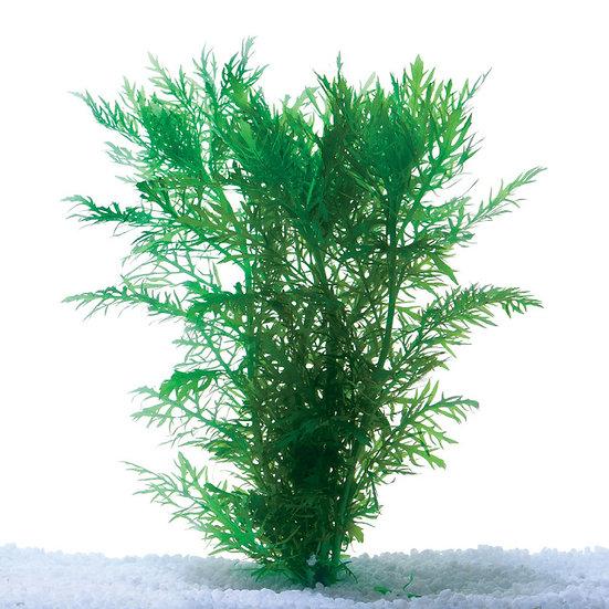Wisteria Aquatic Plant (5cm Pot)