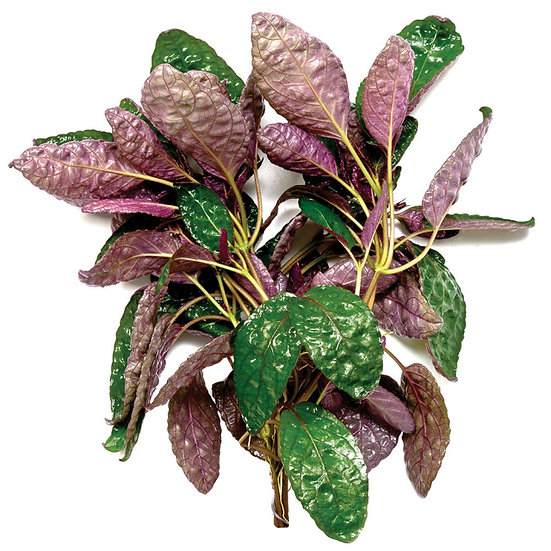 Purple Waffle Aquatic Plant (5cm Pot)