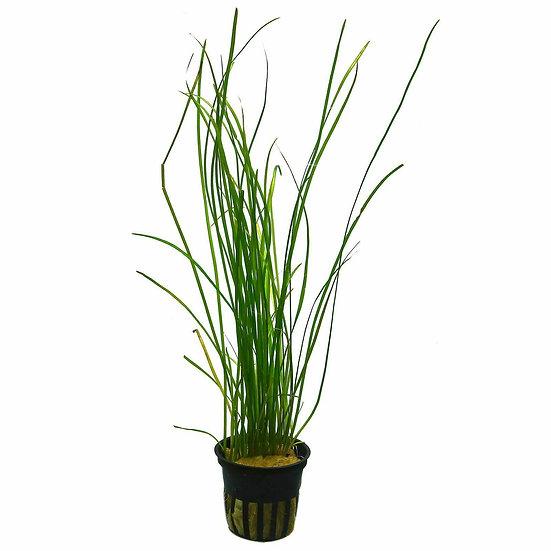 Valisnera Jungle Val Long Grass Aquatic Plant (5cm Pot)