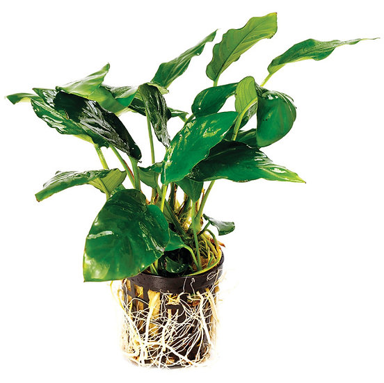 Assorted Anubias Aquatic Plant (5cm Pot)