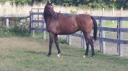 Spirit - our beautiful OTTB Horse