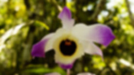 Dendrobium_sp_OP_Mex.jpg