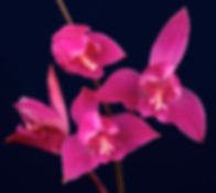 Bletia_purpurea_DB_Epidendra.jpg
