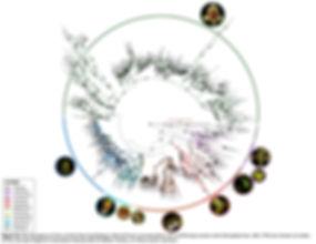 MLphylo_Cymb_v2_FigS3_OP.jpg