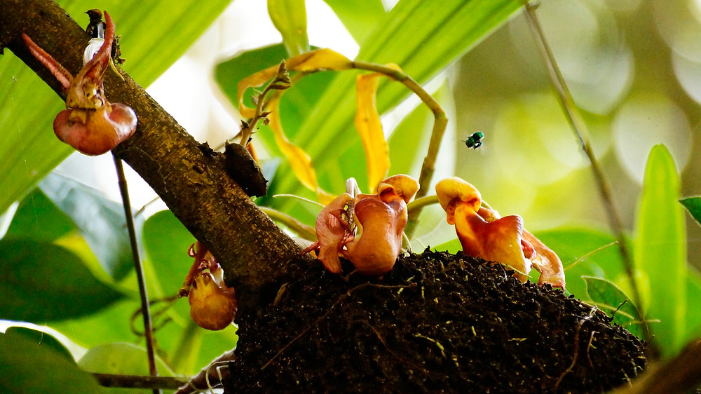The ant-garden orchid Coryanthes being visited by Euglossine bees - Photo: O.Pérez (2015)