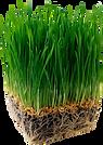 Wheatgrass.png