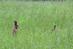 Clounshear Hare