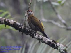 Streak-breasted Woodpecker 2